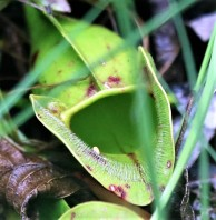 Pitcher plant. Photo Credit Jenny Ward