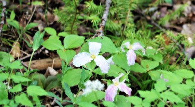 Provincial flowers, the Trillium. Photo Credit Jenny Ward
